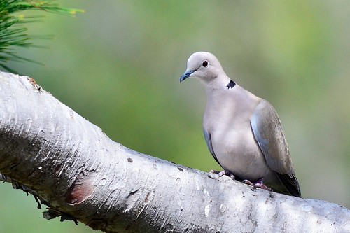 Eurasian Collared Dove by Insu Nuzzi