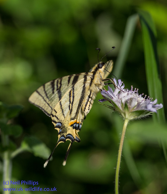 scarce swallowtial butterfly 5