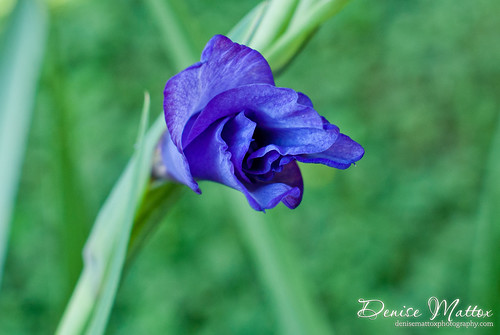 258: Gladiolus