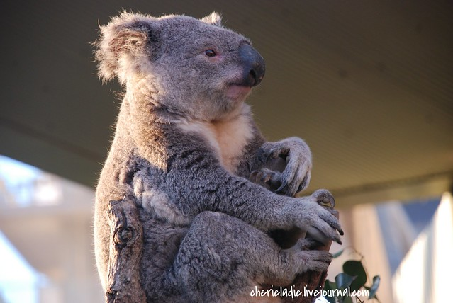 koala bear rocking on his branch