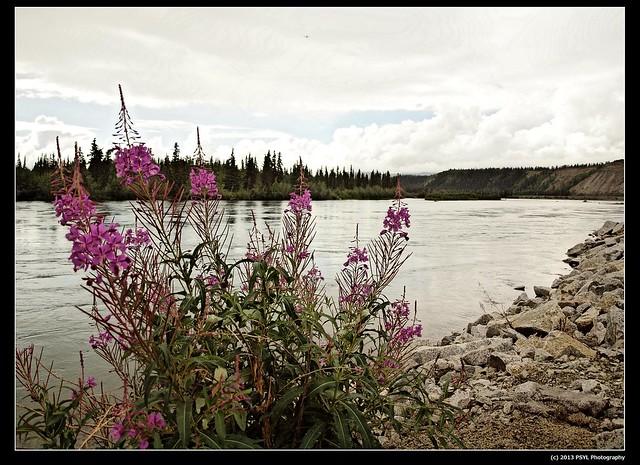 Fireweed (Chamerion sp.) on Yukon River