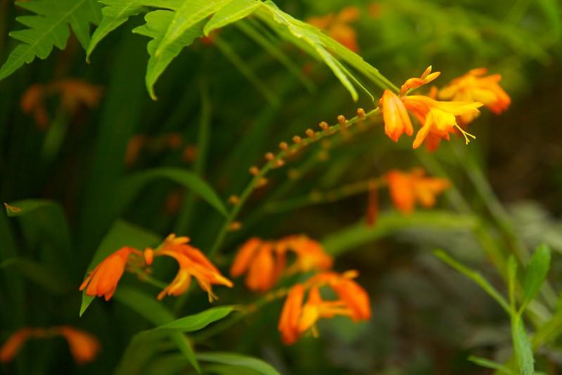 crocosmia orangeade  3423