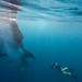 Whale Shark & Snorkeler - Quintana Roo, Mexico by Ai Gentel
