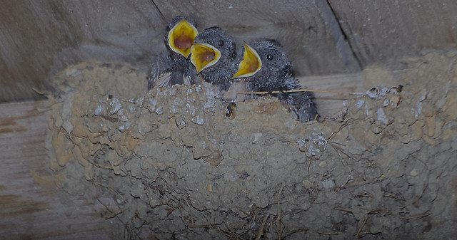 Jeunes hirondelles au nid, on a faim