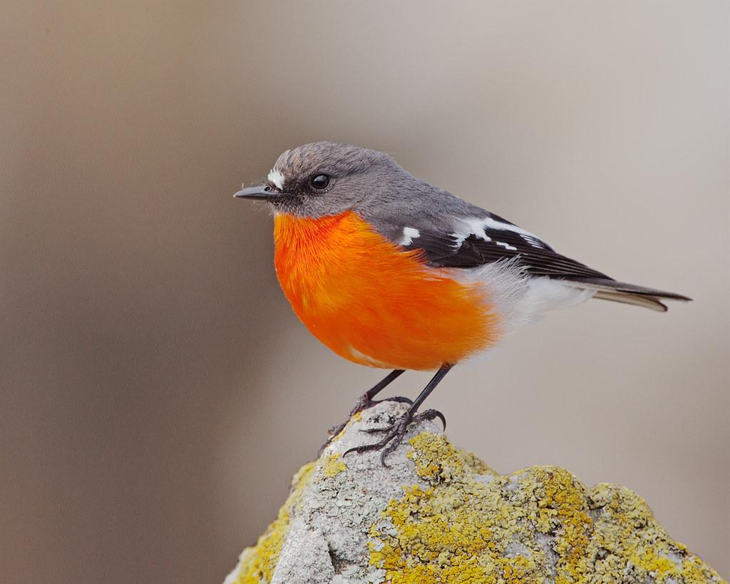 red robin bird for christmas