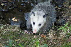 animal(1.0), opossum(1.0), virginia opossum(1.0), possum(1.0), common opossum(1.0), mammal(1.0), fauna(1.0), wildlife(1.0),