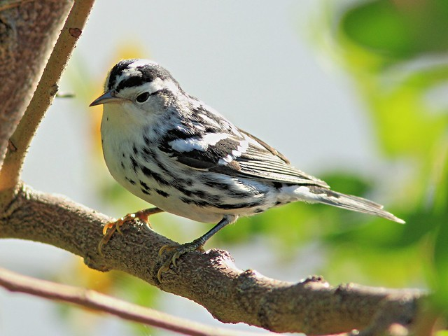 Black-and-white Warbler 4-20131017