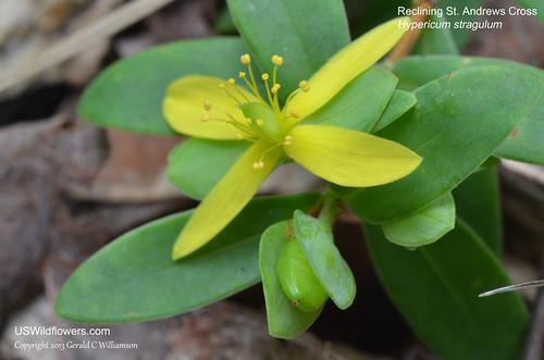 Reclining St. Andrew's Cross, Multi-stem St. Andrew's-cross - Hypericum hypericoides ssp. multicaule