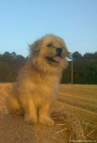 Wed, Oct 23rd, 2013 Lost Male Dog - Monwilling Lower Or Monavullen Lower Or Parklands Lower, Oulart, Wexford