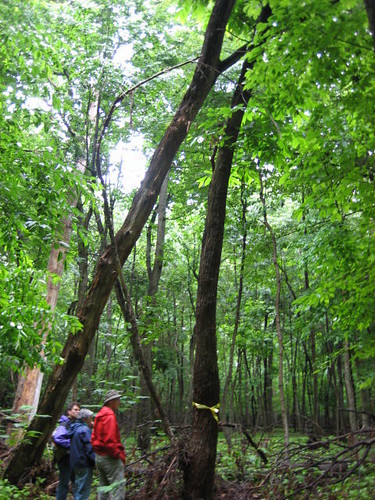 Image of American Chestnut in Forest