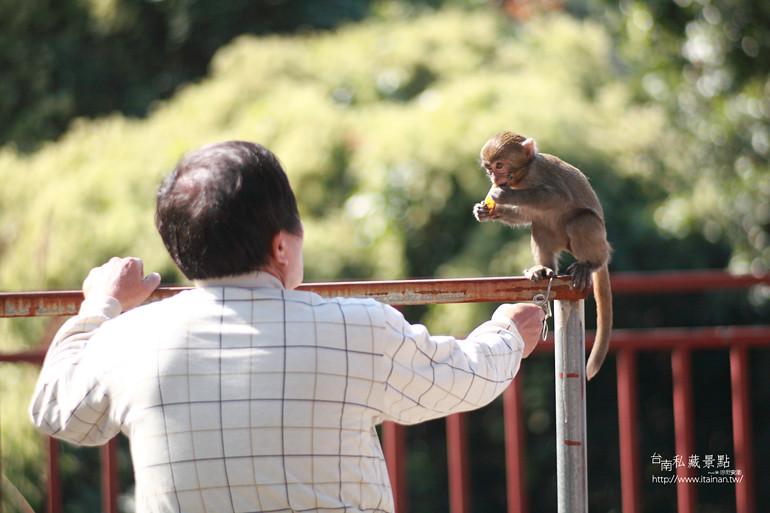 台南私藏景點-南化烏山獼猴 (4)
