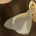Banded Gold Tip - Colotis eris by  BlezSP