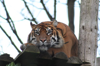 Tiger - Chester Zoo