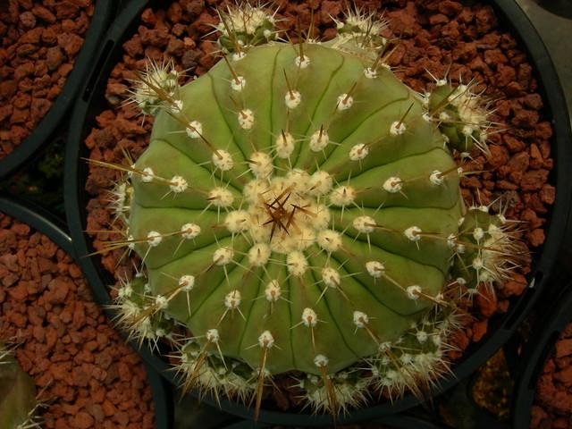 Copiapoa in cultivation 11739521023_ce400b1cef_z