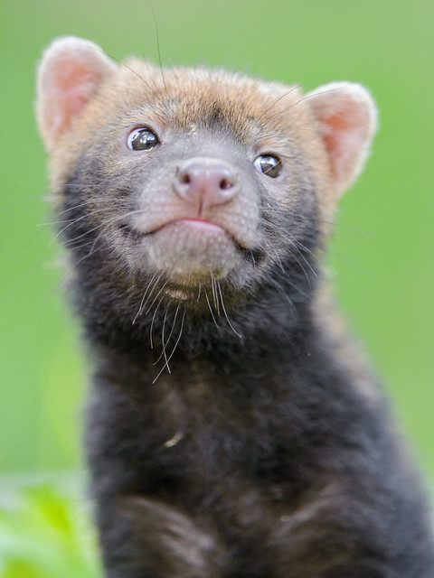 Cute cheeky smiling bush dog baby II