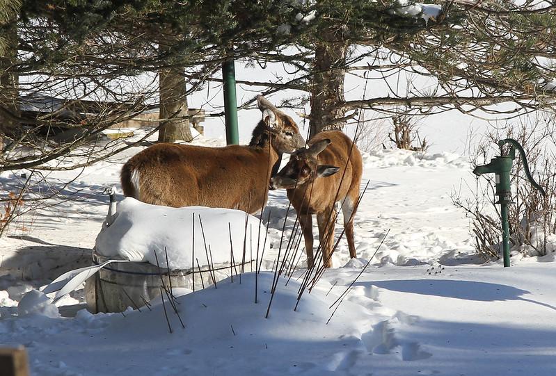 deer grooming