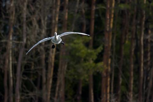 swan by ja1dql