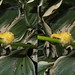 dagger moth stereo - poppy