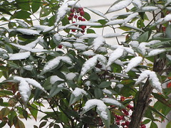 Snow on nandina bushes