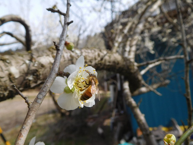 ume and bee, Nikon COOLPIX S7000