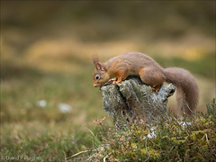 Red squirrel looking for nuts