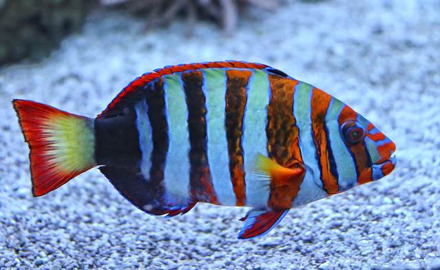 Tropical Fish are very colorful