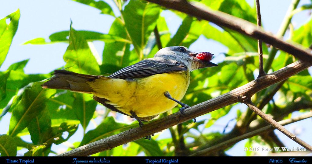 TROPICAL KINGBIRD Tyrannus melancholicus Eating a Wild Fruit in Mindo in Northwestern ECUADOR. Photo by Peter Wendelken.