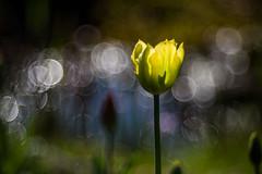 Bokeh Tulpe, Tulpen Bokeh
