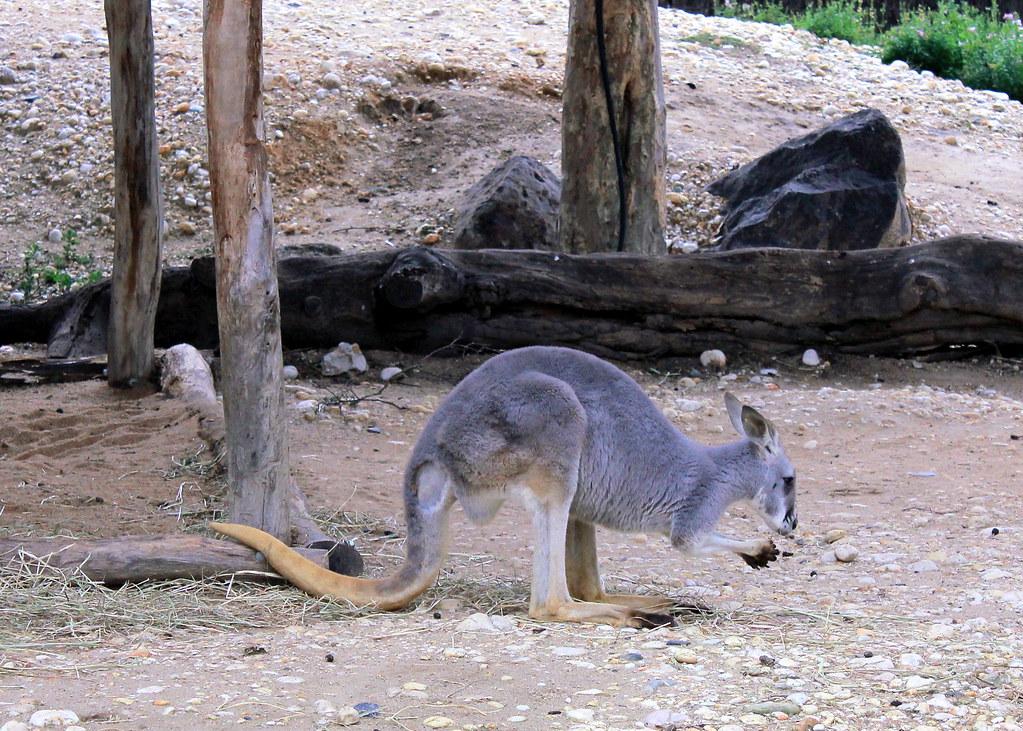 melbourne-zoo-kangaroo