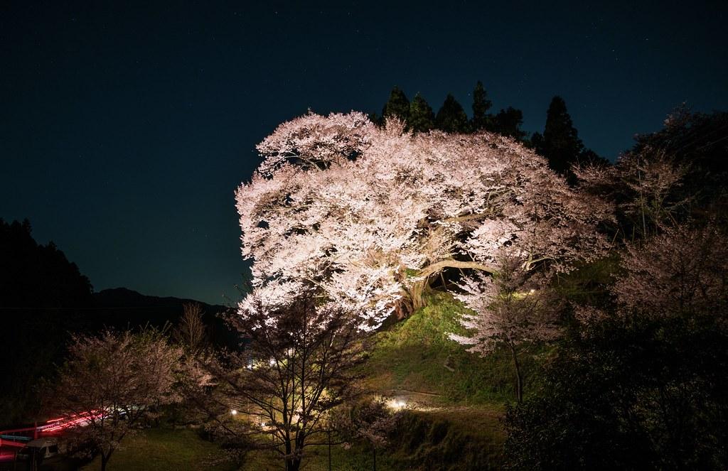 千年桜 #佛隆寺
