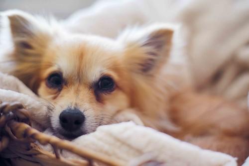 pentax puppy