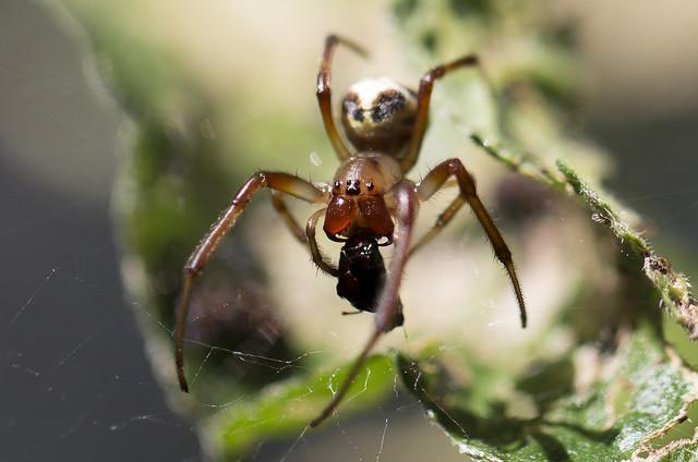 Spider Diner