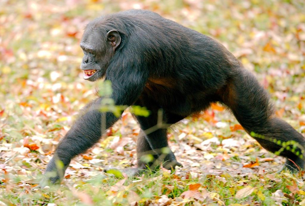 Chimpanzee_8