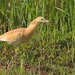 Sgarza ciuffetto/squacco heron