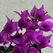 West End - Purple Bougainvillea