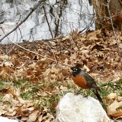 Robin, American Robin . Wikipedia:  The American robin (Turdus migratorius) is a migratory songbird of the thrush family. It is named after the European robin because of its reddish-orange breast, though the two species are not closely related, with the E