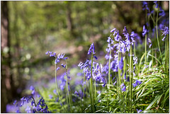Marbury Bluebells