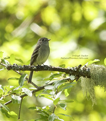 Hammond's Flycatcher (?)
