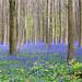The Blue Forest - Hallerbos by Jan Hoogendoorn