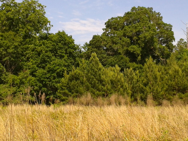 Pasture with loblolly