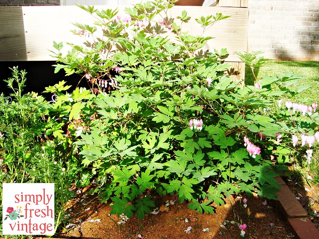 Bleeding Heart - May Garden ... Simply Fresh Vintage