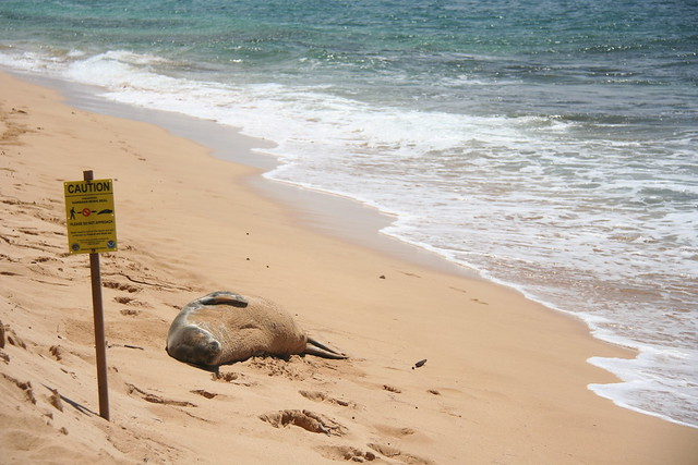Hawaiian Monk seal, Gillin's Beach, Kauai