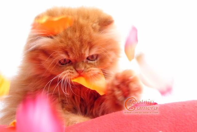 Cute Persian Ki...