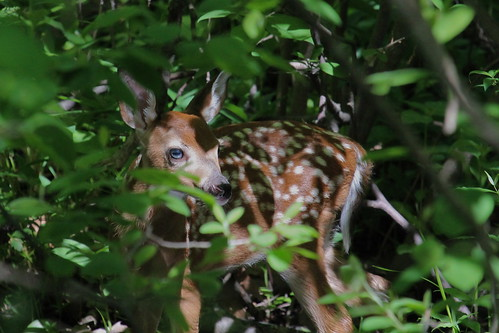 Bambi in the bushes by ricmcarthur