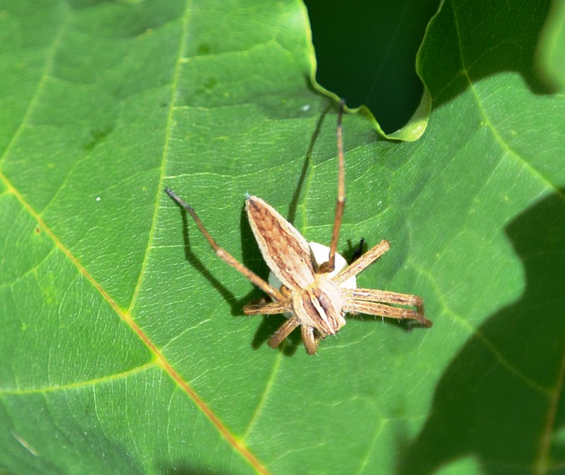 Nursery Web Spider with Egg Sack