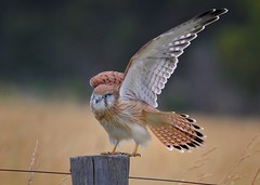 Nankeen Kestrel, wing and tail stretch
