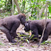 David Schenfeld posted a photo:	Two Western Lowland Gorillas playing around.