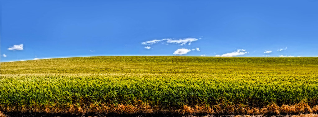 Eastern Oregon Wheat Fields (Panoramic)