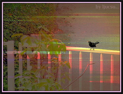 birds sunrise blackbird