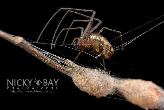 Big-Jawed Spider (Tetragnathidae) - DSC_7201